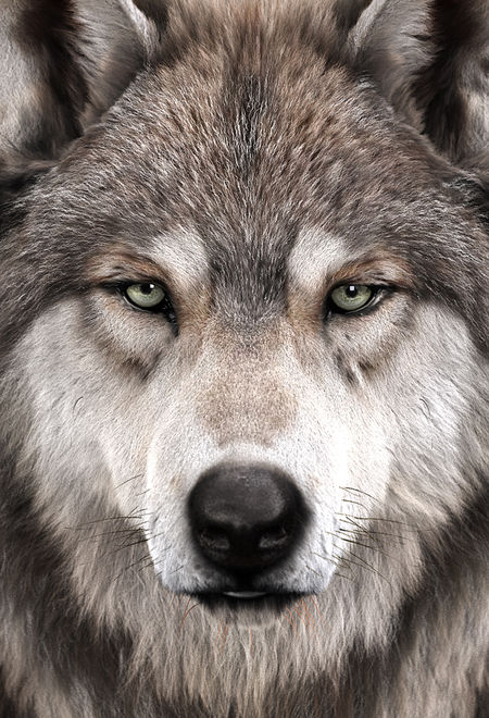 Massimorighi wolfs portrait 86a46260 soxt