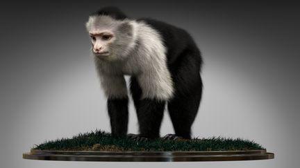 Monkey Capuchin