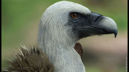 A vulture model done for a cinematic trailer