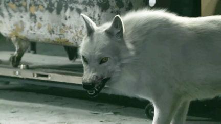 Fur for Hemlock Groves' wolf