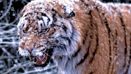 Tiger (snow test)