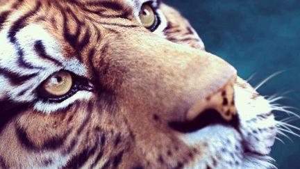 Tigers 's head