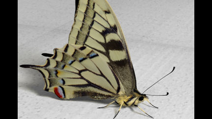 Butterfly Papilio machaon female