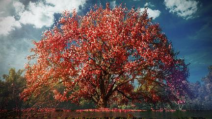 Sakuras Bloom