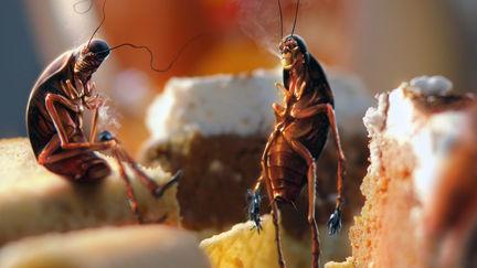 Cockroach smoko