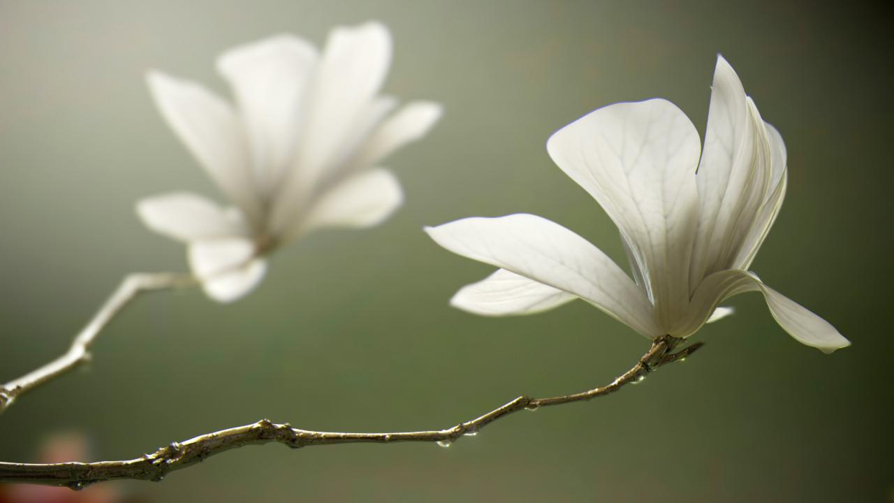 Chengbindu flowers in full bloo 1 fe044be3 44eo