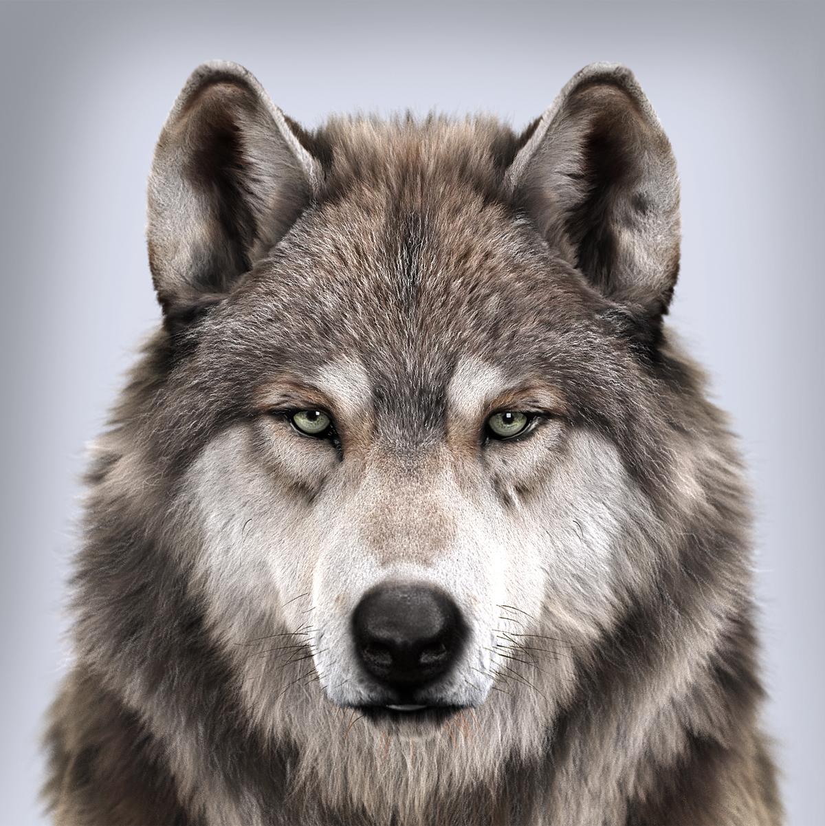 Massimorighi wolfs portrait 1 d9770a90 soxt